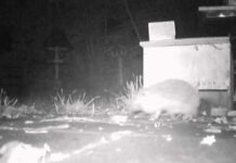 Hedgehog - 2013 - 5 November - big bulge, grote bobbel